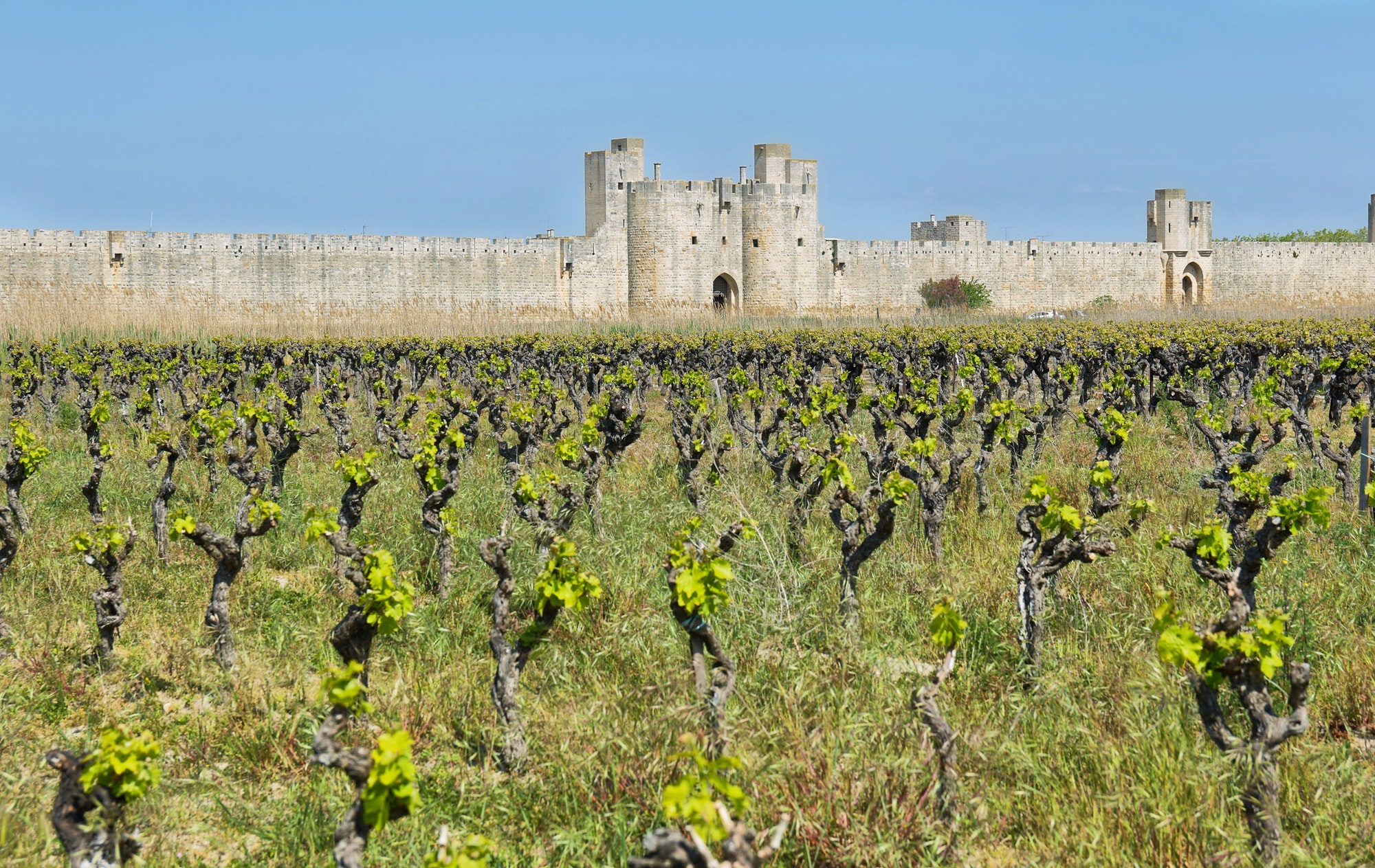 Vineyards with fortified wall of Aigues Mortes village in France